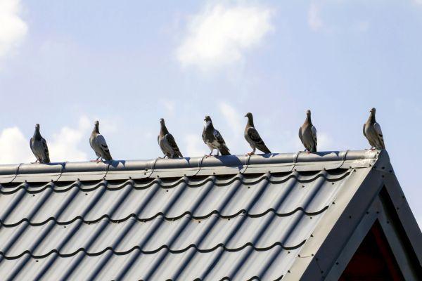Jak ochronić dach przed ptakami?